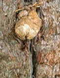 Trädet gnarl blickar som en trädälva eller en trädgnom Royaltyfria Bilder