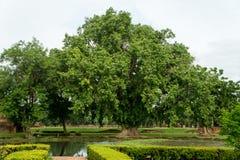 Trädet i det historiskt parkerar i sukhothai Arkivfoton