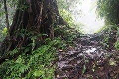 Trädet i djungeln i Bali Indonesien med många rotar Fotografering för Bildbyråer