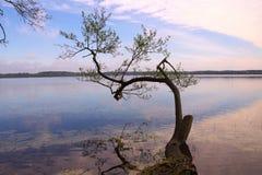 Trädet i sjön (den Pisochne ozeroen, Ukraina) Arkivfoto