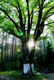 Trädet i solljuset, skoglandskap, strålarna av solen i gräsplanen Fotografering för Bildbyråer