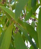 Trädet lämnar eukalyptuns arkivbilder