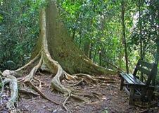 Trädet med att förbluffa rotar i Taman Negara, Malaysia arkivfoto