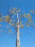 Trädet med blå himmel arkivfoton