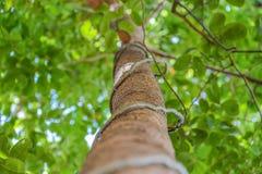 Trädet med de gräsplansidorna och vinrankorna Arkivbild
