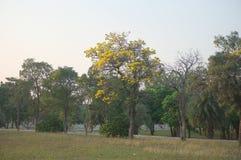 Trädet med den gula blomman överst av den royaltyfri fotografi