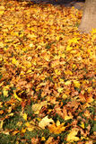 Trädet med gulingsidor i hösten parkerar Arkivbild