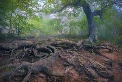Trädet med jätten rotar i den dimmiga skogen Arkivfoton