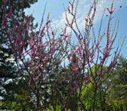 Trädet med lilor blommar parkerar in Fotografering för Bildbyråer