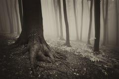 Trädet med rotar i en mystisk skog med dimma Royaltyfri Bild