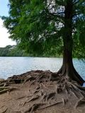 Trädet med rotar i varje riktningar Royaltyfria Foton