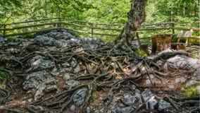 Trädet med rotar på en jordning Royaltyfria Bilder