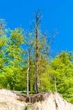 Trädet med rotar på kullen Royaltyfria Bilder