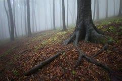Trädet med stor fördelning rotar i en mystisk skog med dimma Royaltyfri Fotografi