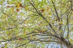 Trädet med stora gröna sidor Royaltyfria Bilder