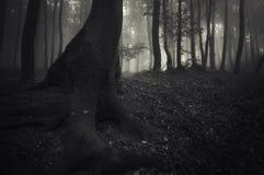 Trädet med stort rotar i en mörk skog med dimma Royaltyfri Bild
