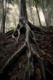 Trädet med stort rotar i en skog i sommar efter regn Royaltyfria Foton