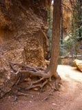 Trädet med utsatt rotar på ökenslinga Royaltyfri Bild
