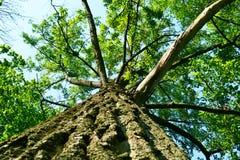 Trädet parkerar in från under Royaltyfri Bild