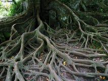 Trädet rotar royaltyfria foton