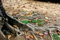 Trädet rotar Arkivbild