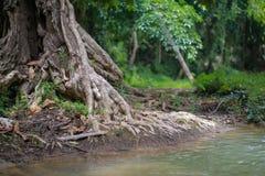 Trädet rotar Fotografering för Bildbyråer