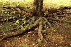 Trädet rotar arkivfoto