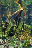 Trädet rotar av mangroven som är undervattens- med marin- liv Fotografering för Bildbyråer