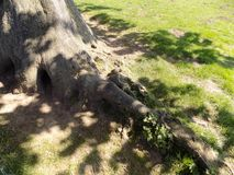 Trädet rotar Crookham, Northumberland, UK Arkivbild