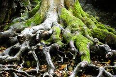Trädet rotar, den Moravian karsten, Tjeckien Arkivfoto