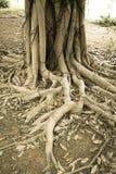 Trädet rotar i gammal fotostil Royaltyfri Fotografi
