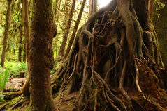 Trädet rotar i Hoh Rainforests Royaltyfri Bild