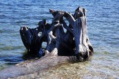 Trädet rotar i sjön Arkivfoto