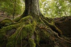 Trädet rotar med grön mossa på en klippa Royaltyfri Bild