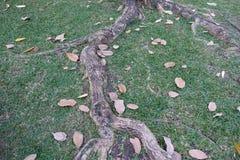 Trädet rotar naturbakgrund Arkivfoto