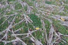 Trädet rotar naturbakgrund arkivbild