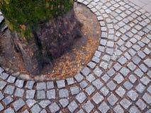 Trädet rotar och gatastenar Arkivfoto