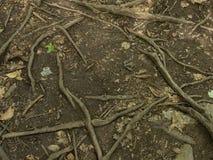 Trädet rotar på den fotvandra banan Arkivfoton
