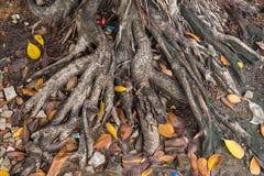 Trädet rotar parkerar in av Thailand Royaltyfria Foton