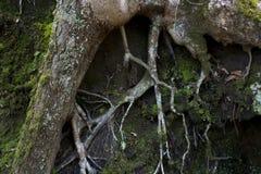 Trädet rotar synligt på backen arkivfoto