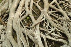 Trädet rotar textur Arkivfoto