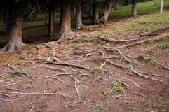 Trädet rotar utsatt på jordningen Royaltyfria Bilder