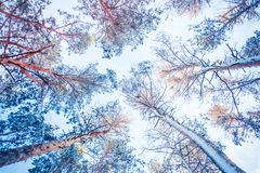 Trädet sörjer granen i magisk skogvinter med fallande snö Arkivbilder