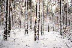 Trädet sörjer granen i magisk skogvinter med fallande snö Fotografering för Bildbyråer