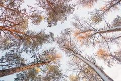 Trädet sörjer granen i magisk skogvinter med fallande snö Arkivfoto