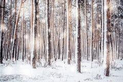 Trädet sörjer granen i magisk skogvinter med fallande solig dag för snö Arkivfoton