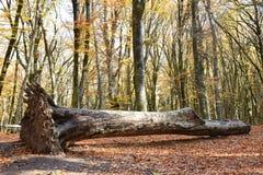 Trädet som är stupat i hösten, parkerar Arkivfoto