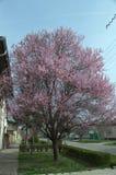 Trädet som blommar med lilor, blommar på våren Royaltyfria Bilder