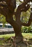 Trädet som skapar phantasmagorical former med dess stam och, rotar fotografering för bildbyråer