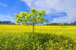 Trädet som växer på fält av, våldtar royaltyfri bild